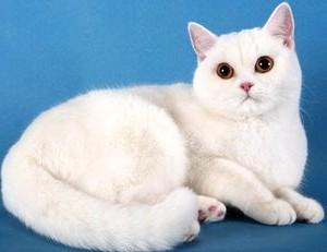 Как назвать британскую кошку девочку