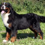 Собака породы бернский зенненхунд