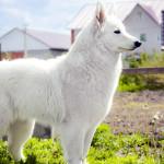 Белая швецарская длинношерстная овчарка