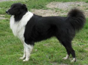 Черно-белая английская овчарка