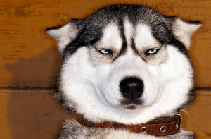 Характер собаки хаски