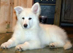 Белая швейцарская овчарка фото щенки цена