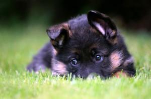 Как воспитывать щенка немецкой овчарки