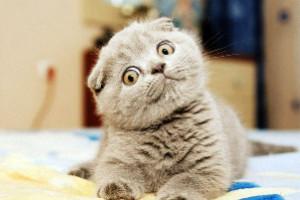 Кальцевирусная инфекция у кошек фото