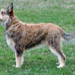 Подросток овчарки лакенуа
