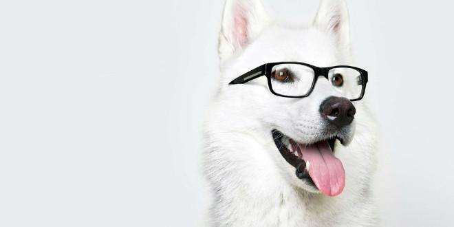 Белая швейцарская овчарка — не просто красавица