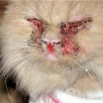 Симптомы кальцевирусной инфекции у кошек