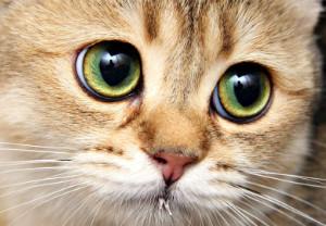 Сколько длится кальцивироз у кошек