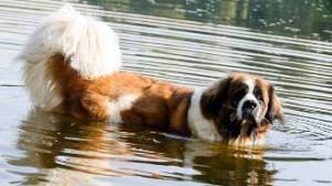 Картинки московской сторожевой собаки