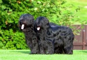 Бриар собаки