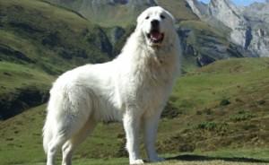 Горная овчарка пиренейская фото
