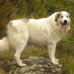 Пиренейская горная собака фото
