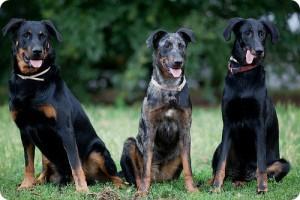 Порода собак босерон фото