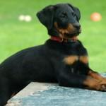 Фото щенка босерона
