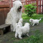 Семейство южнорусских овчарок
