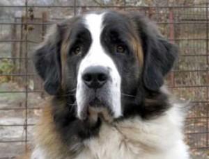 Московская сторожевая собака фото