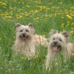 Французская пиренейская собака