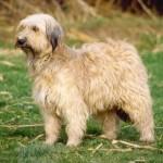 Овчарка пиренейская