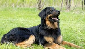 Ховаварт, порода собак