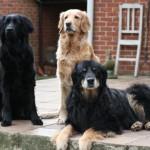 Собаки Ховаварт