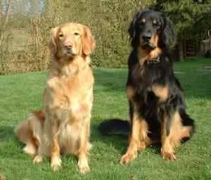 Собаки породы Ховаварт
