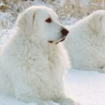 Собаки породы Кувас
