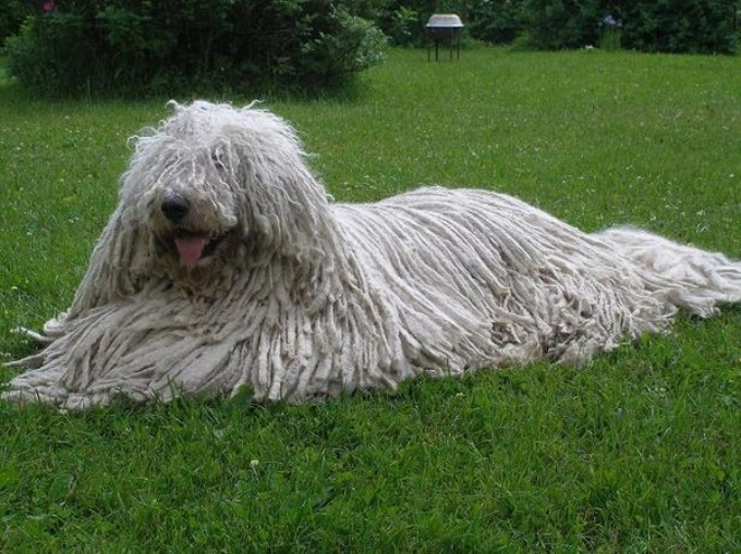 Белая собака комондор