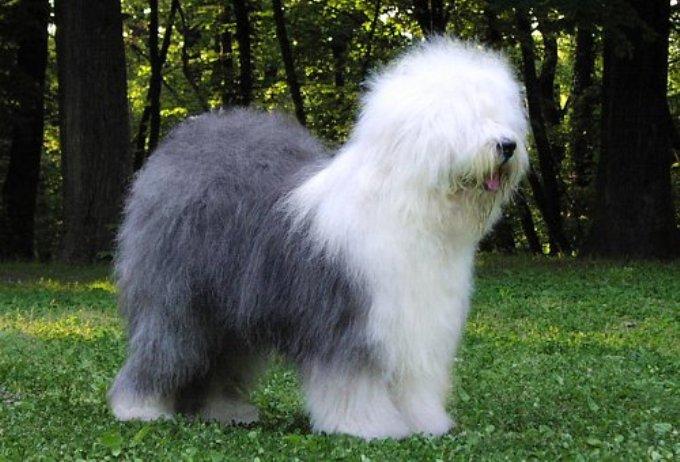 Двухцветная овчарка Бобтейль