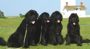 Собаки породы Водолаз