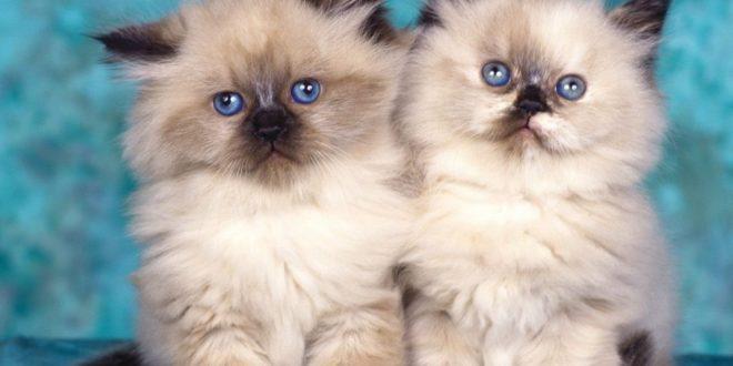 Покупка гималайской кошки. Советы