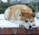 """Порода собаки из фильма """"Хатико"""""""