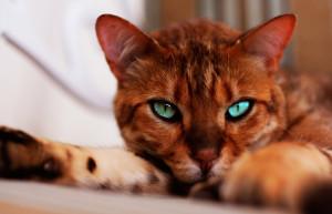Описание породы бенгальская кошка