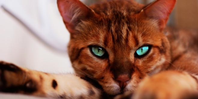 Бенгальская кошка — домашний леопард