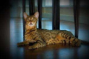 Длина кота ашера достигает одного метра