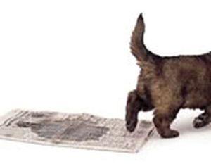 Приручаем щенка к пеленке