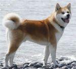 Акито собака