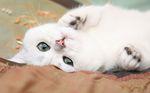 Какая порода кошек самая добрая и ласковая