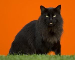 Черная норвежская кошка