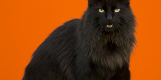 Норвежский лесной кот — нордический характер