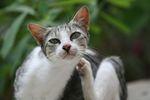 Подкожный клещ у кошек: лечение