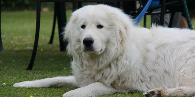 Маремма-абруцкая овчарка — белый медведь
