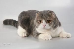Описание шотландских кошек