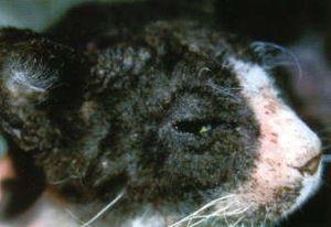 Симптомы подкожного клеща у кошки