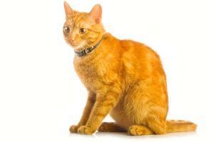 Когда можно стерилизовать или кастрировать кошку