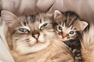 Ваша кошка беременна?