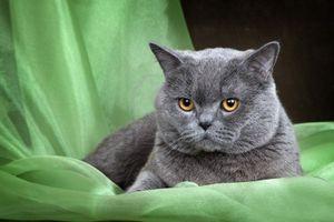 Стандарт породы кошек скоттиш-страйт