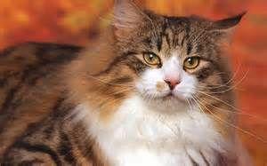 Фото норвежского лесного кота