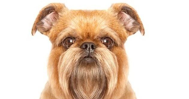 Собака породы гриффон — идеальный питомец