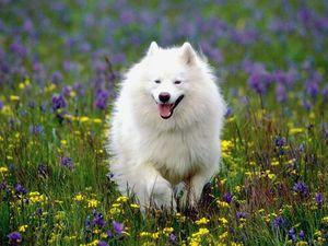 Описание и характер самоедской собаки