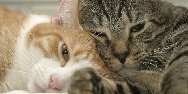 Двенадцать самых ласковых пород кошек